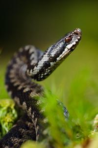 Savoir Reconnaitre Les Serpents Vet Auvergne Clinique Veterinaire